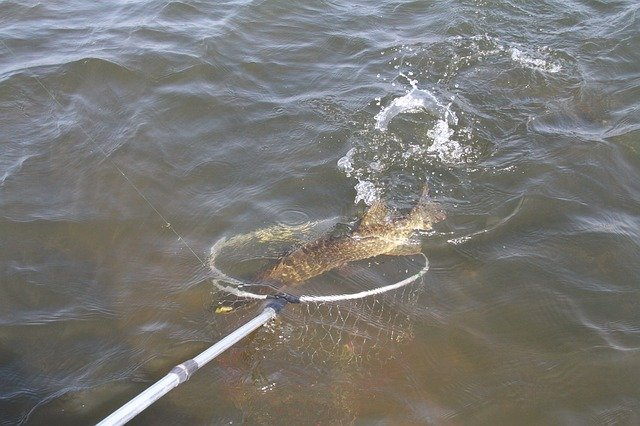 A pike caught whilst pike fishing in the summer.