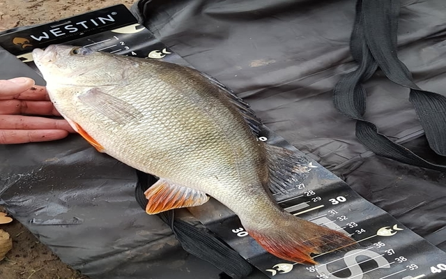 Perch Fishing Tips and Tricks | Catch More Perch